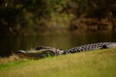 Alligatore da acqua al sole Immagine Stock Libera da Diritti
