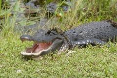 Alligatore da Miami, U.S.A. Immagine Stock