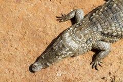 Alligatore da sopra Immagine Stock