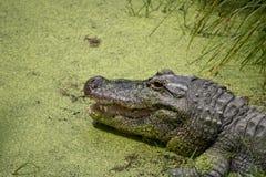 Alligatore dal lato del lago con la bocca aperta Fotografia Stock Libera da Diritti