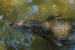 Alligatore dalla cima Immagine Stock