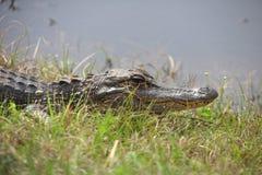 Alligatore dallo stagno Fotografia Stock