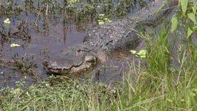 Alligatore danneggiato che riposa dopo la lotta in uno stagno archivi video