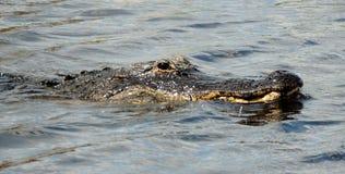 Alligatore dei terreni paludosi Immagini Stock