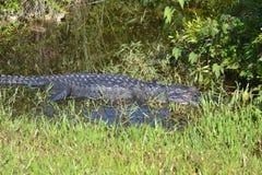 Alligatore dei terreni paludosi in acqua della palude Fotografia Stock Libera da Diritti