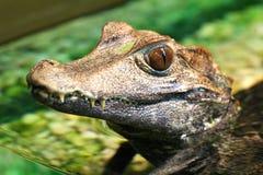 Alligatore del bambino Immagine Stock