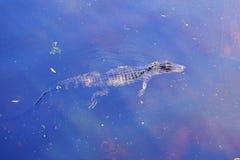 Alligatore del bambino Fotografie Stock