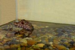 Alligatore del bambino Fotografia Stock