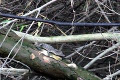 Alligatore del bambino Immagini Stock