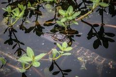 Alligatore del bambino Fotografie Stock Libere da Diritti