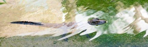 Alligatore del bambino in acqua Fotografia Stock