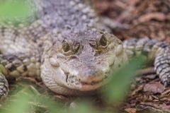 Alligatore del bambino che esamina la macchina fotografica Fotografie Stock