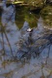 Alligatore del bambino che riposa in acqua bassa nel lago Apopka, Florida Fotografia Stock Libera da Diritti