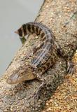 Alligatore del bambino che riposa su una banca sabbiosa Fotografia Stock