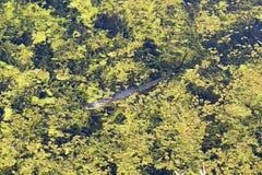Alligatore del bambino che si nasconde nell'erbaccia Fotografia Stock Libera da Diritti
