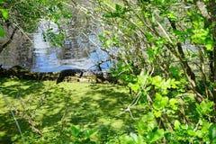 Alligatore del bambino che si nasconde in uno stagno Fotografia Stock Libera da Diritti
