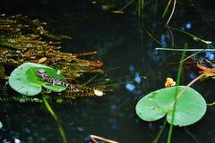 Alligatore del bambino di settembre del parco dell'alligatore di Florida S.U.A. Fotografia Stock Libera da Diritti