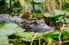 Alligatore del bambino e della madre Fotografia Stock