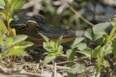 Alligatore del bambino in erba Fotografia Stock