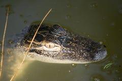 Alligatore del bambino nel lago florida Fotografia Stock Libera da Diritti