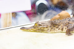 Alligatore del bambino nella gabbia dello specchio Fotografie Stock