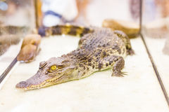 Alligatore del bambino nella gabbia dello specchio Fotografia Stock Libera da Diritti