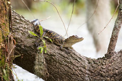 Alligatore del bambino sull'albero Immagini Stock
