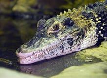 Alligatore del caimano Immagini Stock Libere da Diritti
