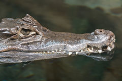Alligatore del caimano del coccodrillo Fotografia Stock Libera da Diritti