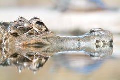 Alligatore del caimano del coccodrillo Fotografie Stock Libere da Diritti