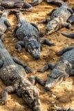 Alligatore del coccodrillo Immagini Stock Libere da Diritti