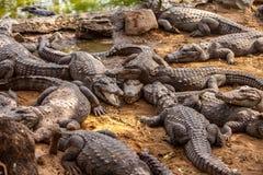 Alligatore del coccodrillo Immagini Stock