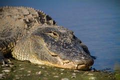 Alligatore del maschio adulto Fotografia Stock Libera da Diritti