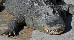 Alligatore 5 del Mississippi Fotografie Stock Libere da Diritti