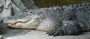 Alligatore del Mississippi Fotografie Stock Libere da Diritti