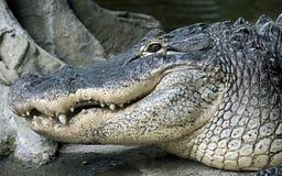 Alligatore del Mississippi Immagini Stock Libere da Diritti