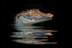Alligatore del ritratto Fotografia Stock Libera da Diritti