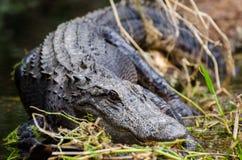 Alligatore del toro della palude di Okefenokee Fotografie Stock