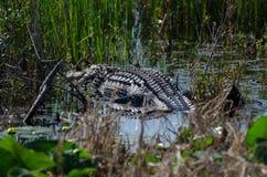 Alligatore del toro della palude di Okefenokee Fotografia Stock Libera da Diritti