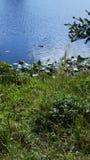 Alligatore della palude dei terreni paludosi di Florida Immagine Stock Libera da Diritti