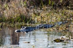 Alligatore della palude di Okefenokee Fotografia Stock