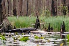 Alligatore della palude di Okefenokee Immagine Stock