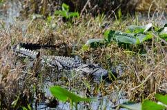 Alligatore della palude di Okefenokee Fotografia Stock Libera da Diritti
