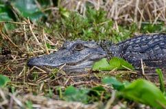 Alligatore della palude di Okefenokee Immagine Stock Libera da Diritti