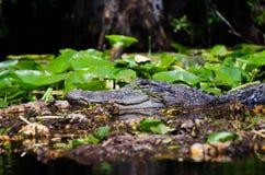 Alligatore della palude di Okefenokee Fotografie Stock Libere da Diritti