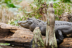 Alligatore della palude di Okefenokee sul ceppo di Cypress Immagine Stock
