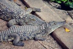Alligatore della Tanzania Fotografie Stock
