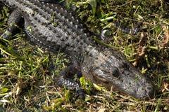Alligatore di Florida Fotografie Stock