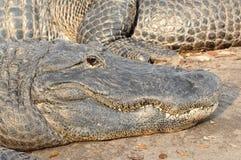 Alligatore di Florida che guarda dal litorale Immagini Stock