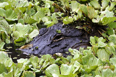 Alligatore di Florida che si apposta sotto la foglia della lattuga Fotografia Stock